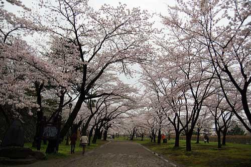 岩手公園の桜