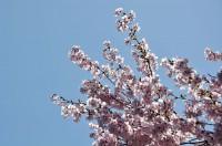 花弁が透けた桜