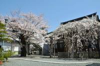 龍谷寺の枝垂れ桜