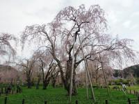 樹齢80年のシダレザクラ