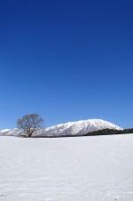 冬の一本桜