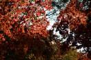 逆光で紅葉が透き通る