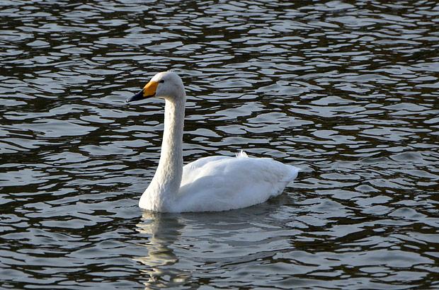 高松の池の白鳥